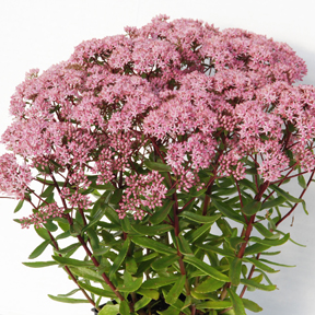 SunSparkler® Sedum Jade Tuffet on 8-24-13