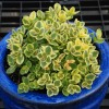 SunSparkler® Sedum 'Lime Twister' ppaf