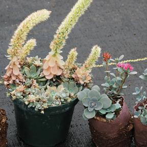 SunSparkler® xSedoro 'Blue Elf' & Orostachys parent on left
