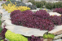 SunSparkler® Sedum 'Firecracker' in Rock Garden