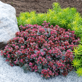 SunSparkler® Sedoro 'Blue Elf' drought proof groundcover Sedum